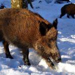 Genießen Sie eine erfolgreiche Jagd mit Wildschwein-Lockstoffen